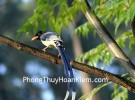 Tranh chim giẻ cùi