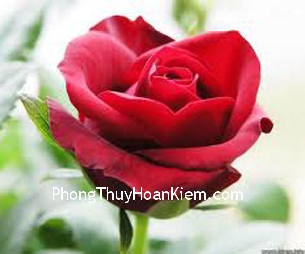 hoa hong Tranh Hoa Hồng