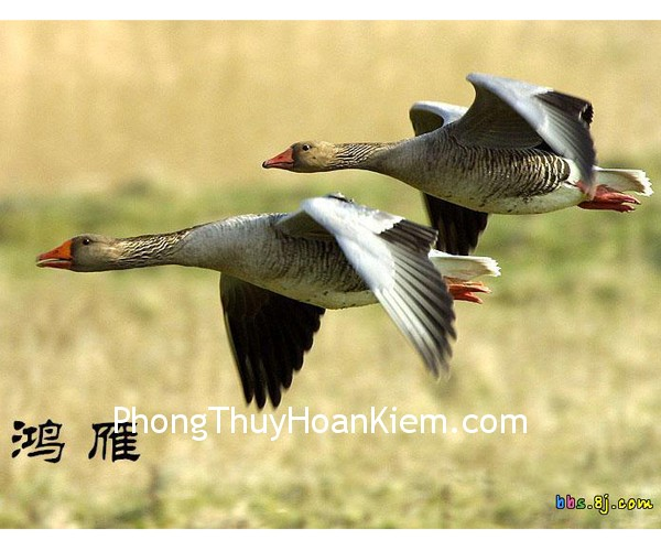 chim hong nhan Tranh chim hồng nhạn