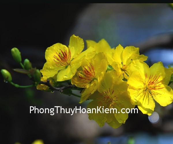 hoa mai Tranh hoa mai