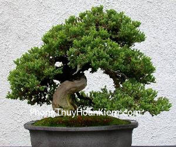 bonsai3 1 Bố cục phong thủy tại vị trí quẻ Chấn thì có ảnh hưởng gì tới con trai cả không?