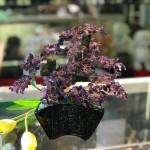 kc121.3 150x150 Cây thạch anh tím thân bonsai chậu kiểu nhật mới (Phước) KC121
